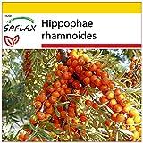 SAFLAX - Set per la coltivazione - Olivello spinoso - 40 semi - Hippophae rhamnoides