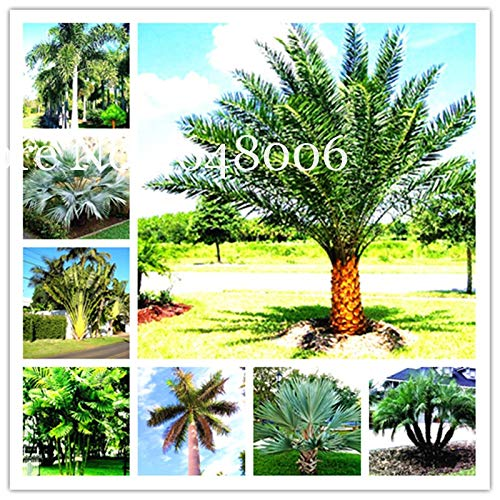 Bloom Green Co. 20 Pcs Chinois Fan Palm Bonsai, des Plantes ornementales Livistona chinensis, Grand Arbre à Feuilles persistantes Fontaine Palmier Bonsai Bonne Année: Mixte