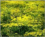 PLAT FIRM Germinación de las semillas: Las semillas de eneldo (Anethum graveolens) - Grow Your Own eneldo fresco condimentación -500+ Semillas