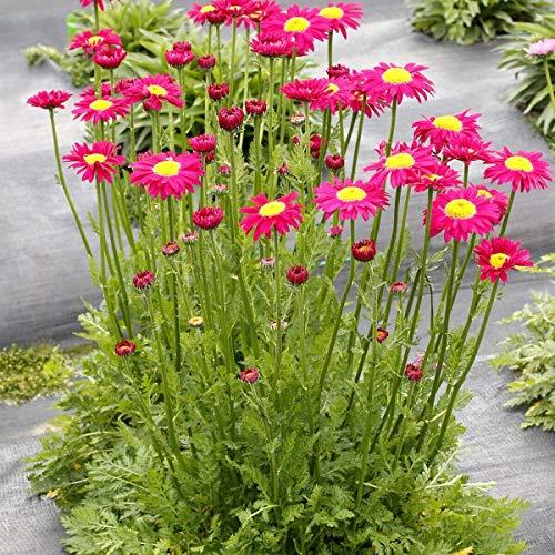 Chrysanthemum Radiant DEEP Pink tanacetum Painted 2.5' Pot = 1...