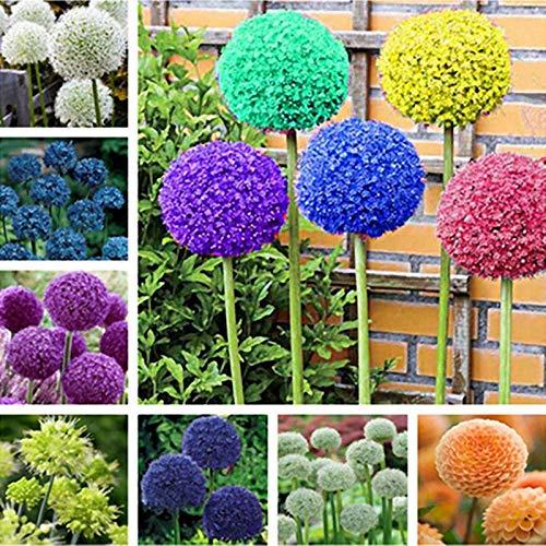 100pcs Rare géant Allium Giganteum Bonsai seeds.Blue Allium graines en pot de fleurs vivaces, finition des pelouses et l'aménagement paysager. Variétés 6