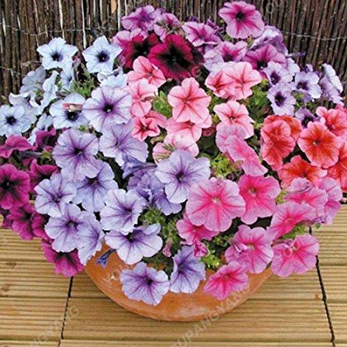 200 pcs/sac Petunia Graines Bonsaï Graines de fleurs Court Taille Jardin Fleurs Graines d'intérieur ou extérieur Plante en pot Livraison gratuite gris foncé