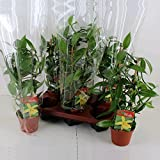 Vanilla planifolia - Kletterorchidee - Echte Vanille Pflanze am Spalier