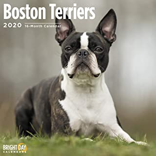 2020 Boston Terriers Calendar 16 Month 12 x 12 Wall Calendar by Bright Day Calendars (Terriers Collection)