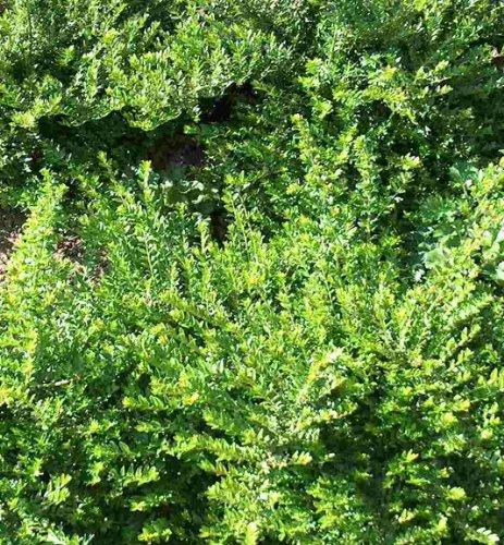 Mühlan Topartikel- 50 Stecklinge Heckenkirsche, Bodendecker, Garten