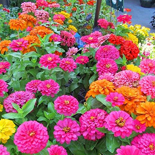 Eastbride Rare graines de Multicolor,Zinnia Seeds, Zinnia Flower Seeds Garden Outdoor-Green_2000 Capsules,vivaces graines Fleurs ornementales