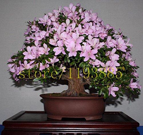 20pcs / sac japonais graines de azalée, rhododendron azalées, les graines graines de fleurs d'arbres couvrent fleurs 15 couleurs bonsaï plantes bricolage maison jardin