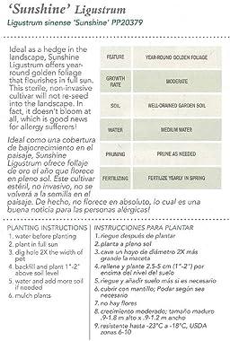 Southern Living Sunshine Ligustrum Shrub Plants