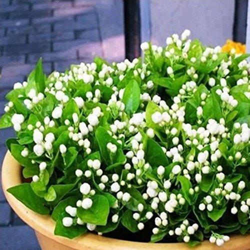 5 graines / semences sac Jasmine plantes d'intérieur vivaces graines de fleurs