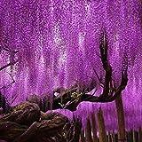 Aimado Seeds Garden- rare 10pcs graines de glycine 'Toujours en fleurs' fleur grimpante plante grimpante exterieur résistant au froid