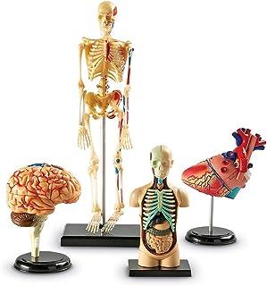 FGDSA Modelo De Ensamblaje Conjunto De Modelos De Anatomía, Ensamble El Torso Humano Cuerpo Órgano Modelo Anatómico Cienci...