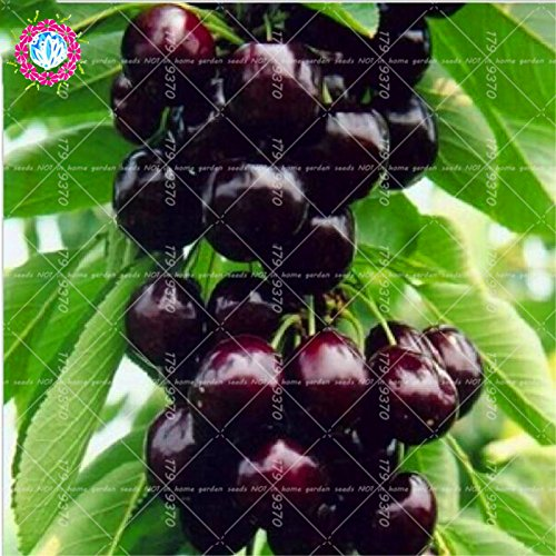 10 pcs / sac graines de cerise mini-tree Black Cherry graines de fruits bio graines d'arbres bonsaï pot alimentaire super doux pour le jardin de la maison