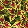 Semi di Coleus Rainbow - Coleus hybridus - 15 semi #2