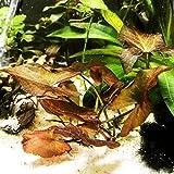 Mainam Nymphaea Rubra Bulb Dwarf Water Lily Live Aquarium Plants Decorations 3 Day Live Guaranteed