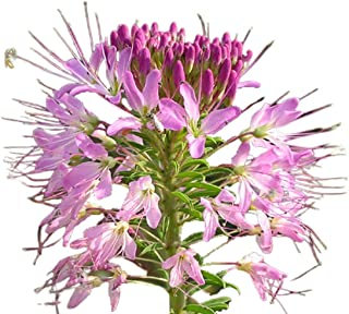 Rocky Mountain Bee Plant 50 Seeds - Cleome Serrulata, Stinking Clover/Navajo Spinach Summer Plant, Traditional Medicine Bee Spider Flower Seeds for Planting