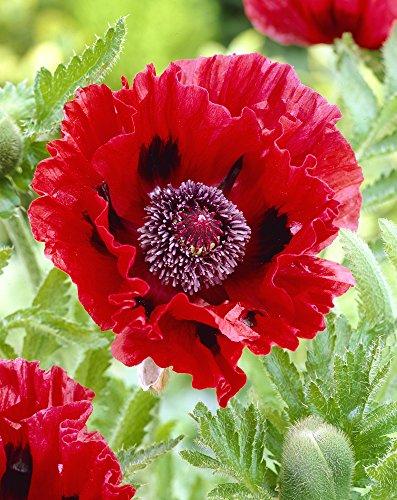Van Zyverden Poppies - Red- Set of 5 Roots