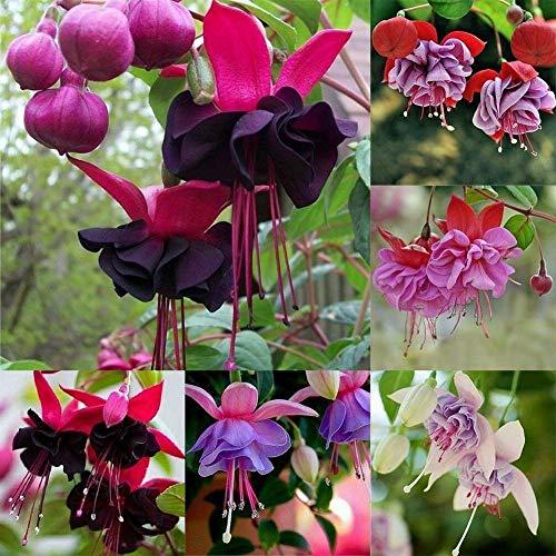 Daisy Garden 100 Pcs Fuchsia Flower Seeds Mixed Lantern Multi-Colored Perennial Home Plant Bonsai
