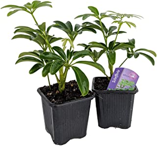 Mini Schefflera arboricola 2 Plants - Dwarf Umbrella Plant - 3