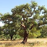 Quercus suber (Quercia) – Sughera [H. 100-150 cm.]