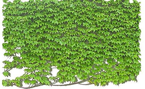 SVI 500 pcs/lot Vert Boston Ivy Graines Lierre Semences de gazon pour DIY Home Jardin extérieur plantes Arbre Graines Drop Shipping 4 couleurs