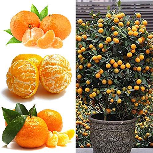 Orangenbaum Samen, 50 Stück Orangenbaum Samen Topffrüchte Kumquat Mandarine Zitrus Garten Hof Dekor