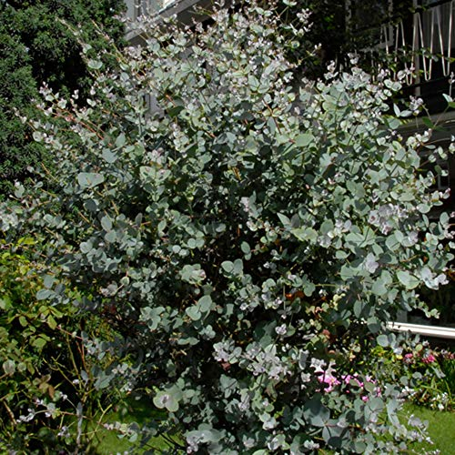 Eucalyptus gunnii | Mostgummi-Eukalyptus | Eukalyptus Baum | Winterharte Pflanzen für Garten | Höhe 35-45cm | Topf-Ø 12cm
