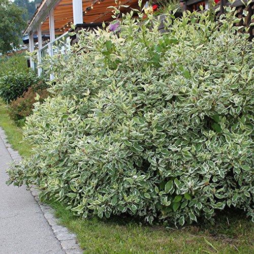 Dominik Blumen und Pflanzen, Sibirischer Hartriegel, Cornus alba