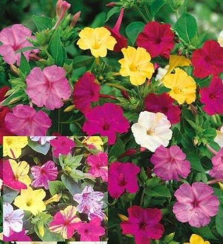 Wunderblume - Four O'Clock - Marvel of Peru - Mirabillis jalapa - 25 Samen