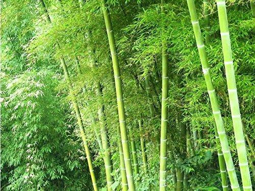 200pcs / usine de gros lot frais Green Bamboo Seeds 98% des graines de plantes de survie bonne bonsaï de qualité