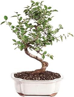Best japanese plum bonsai Reviews