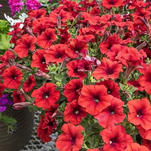 Petunia Bravo Rote Samen - Petunia x Hybrida Grandiflora - 80 samen