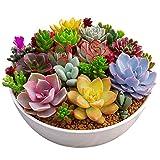 Rosepoem 100 unid / paquete multi plantas suculentas semillas plantas ornamentales semillas patio jardín con semillas de flores