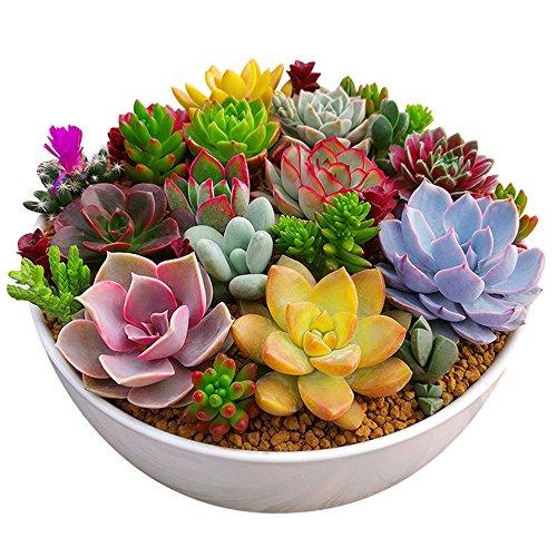 Rosepoem 100 pc / Paquet Multi Plantes Succulentes Graines Plantes Ornementales Graines Cour Jardin avec Graines De Fleurs