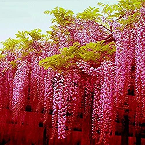 TankMR Boerderij Zaden Home Decor 100 Stks Wisteria Bloem Zaden Thuis Tuin Meerjarige Klimplanten Ornament voor Tuin Balkon/Patio OneSize 1 exemplaar
