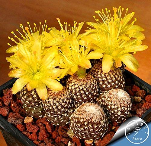 Rare chinois Herb Schisandra Chinensis Graines 20pcs / lot Nutrition Vegetable bricolage jardin Bonsai Usine