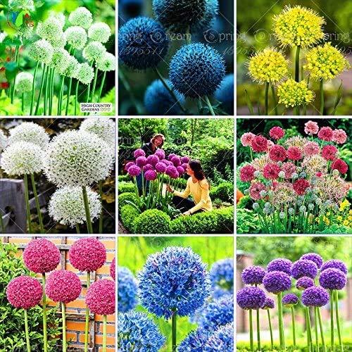 100pcs Rare géant Allium Giganteum Bonsai seeds.Blue Allium graines en pot de fleurs vivaces, finition des pelouses et l'aménagement paysager. Variétés