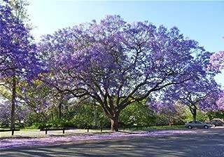 Best jacaranda tree nursery Reviews