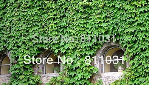 semences Ivy Parthenocissus graines de vente Hot vert bonsaï Creeper Graines Boston Ivy bricolage maison de jardin