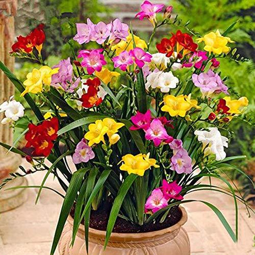 puran 200 Stück/Beutel Freesien-Samen, einfache Bepflanzung, gut angepasste Bonsai, natürliche Blumensämlinge für den Garten, selbstwachsen, ideal für Behälter – Freesien-Samen*