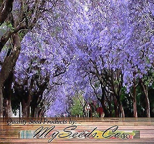 20 x Blau Jacaranda, Jacaranda Mimosifolia, Tree Seeds - Spectacular Blau lila Flowers - Excellent As Bonsai Specimen or Shade Tree - By MySeeds.Co by MySeeds.Co