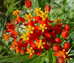 Sunset Flower Milkweed/Blood Flower Seeds (Asclepias Curassavica), Pack of 200 Seeds by Seeds2Go