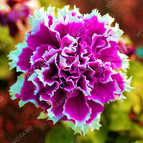 100pcs Petunia Seeds Four Seasons peut être planté 25 sortes de couleurs Pétunia Graines de fleurs Bonsai pour le bricolage jardin Plantation Bleu