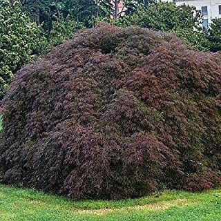 1 gal, Crimson Queen Japanese Maple-a Truly Remarkable Tree with a deep-red lace Leaf Foliage. The Trees Beautiful Leaves are Deeply Cut and dissected. (Hydrangeas Shrub, Evergreens, Gardenia