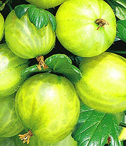 BALDUR-Garten Stachelbeer-Stamm 'Gelbe Invicta®', 1 Stamm gelbe Stachelbeeren