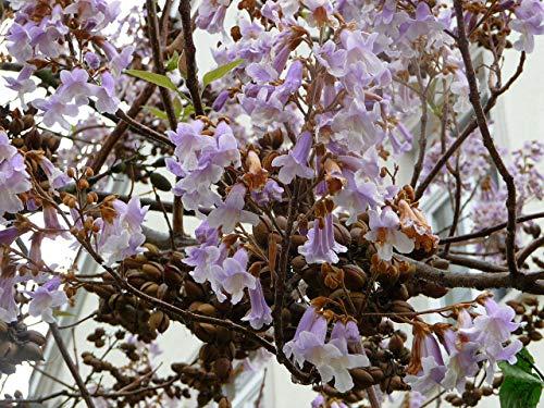 Asklepios-seeds® - 5000 Semillas Paulownia tomentosa Paulonia imperial, Paulownia imperial, Kiri