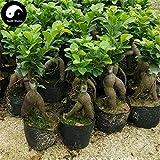 Semillas Comprar Ficus Microcarpa árbol 100 piezas Raíces de la Planta Ginseng Ficus Bonsai