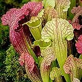 Pitcher plant – Sarracenia