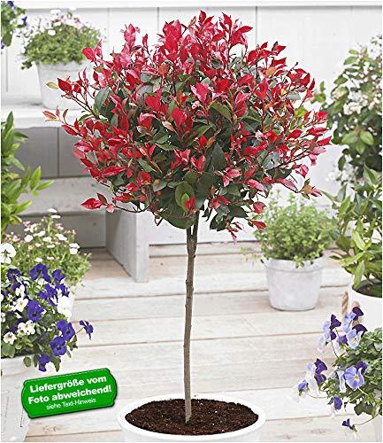 BALDUR Garten Immergrünes Photinia-Stämmchen Little Red Robin® 1 Pflanze Glanzmispel