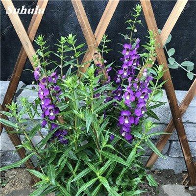100pcs Belles aromatiques gypsophile Graines vrai étoilées fleurs en pot Gypsophila paniculata All Over The Sky Étoile Bonsai Fleur 6