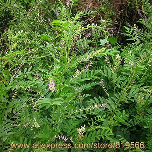 Réglisse réel chinois racine Graines Herbal Réglisse Bonsai Glycyrrhiza glabra L. Herb Plante Sementes naturel Gan Cao semences forestières